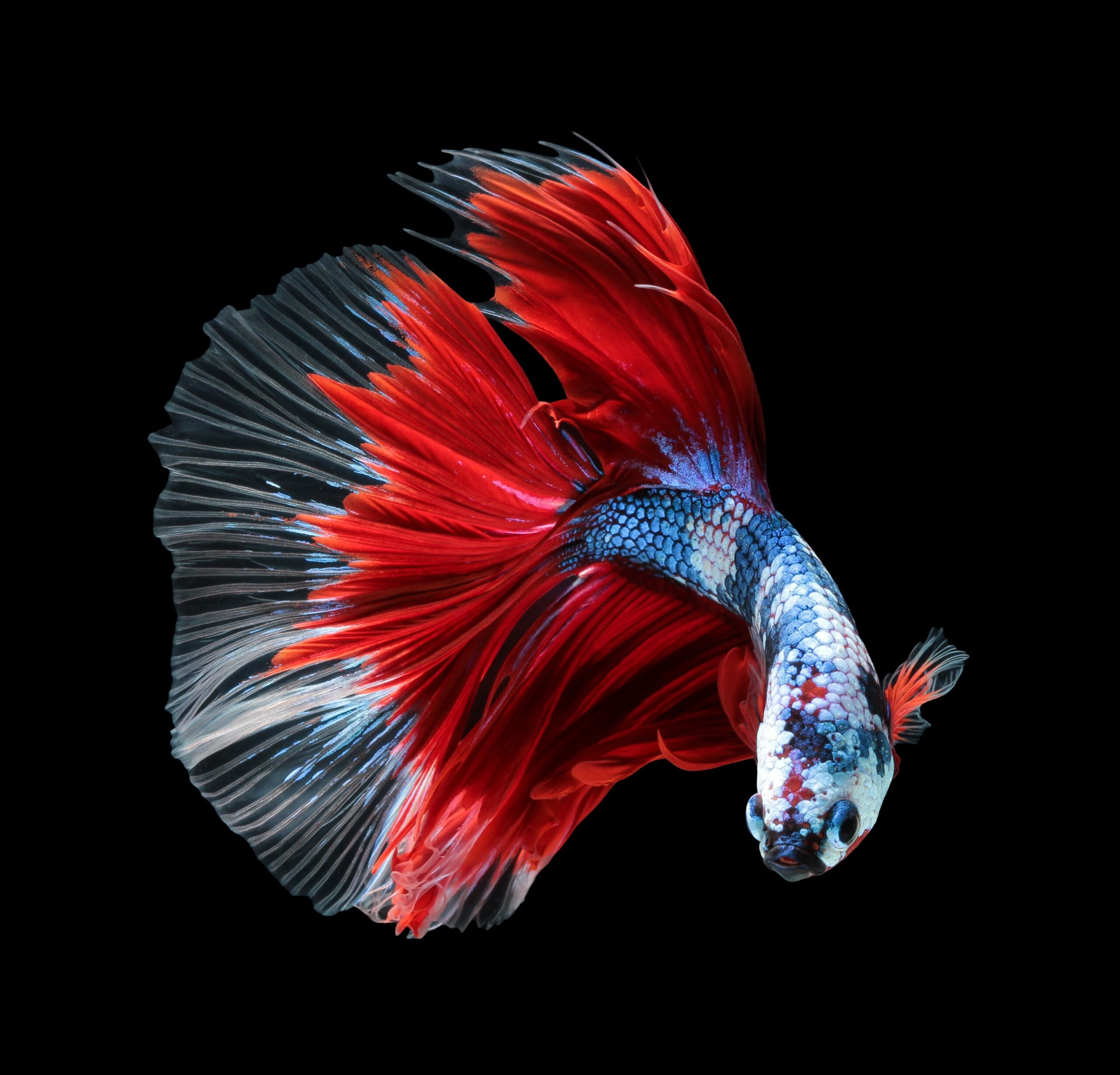 JAPANESE FIGHTING FISH DESIGN